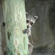 raccoon at canal